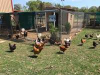 Chickens_running_out_of_coop